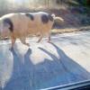 $1000 Offered For Missing Pig
